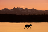 Silhouette of a Wolf Walking at Sunset  Tongass National Forest  Southeast  Alaska