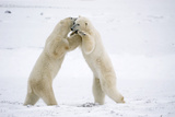 Polar Bears on Hind Feet Play Fighting at Churchill  Manitoba  Canada