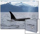 Killer Whale (Orcinus Orca) Surfacing Beneath Mountain Range  Inside Passage  Alaska