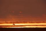 Caribou on Tundra Rising Fog Sunset Summer Arctic Alaska