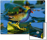 Purple Gallinule (Porphyrio Martinicus) Standing on Lily Pads  Everglades Nat'l Park  Florida