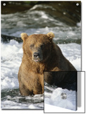 A Grizzly Bear (Ursus Arctos Horribilis) Crosses the Salmon River in the Summer