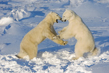 Polar Bears Wrestling and Play Fighting at Churchill  Manitoba  Canada