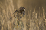 A Fox Sparrow  Passerella Iliaca  Perched Among Grasses