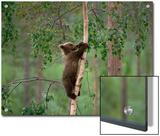 European Brown Bear (Ursus Arctos) Cub Climbing Tree  Germany