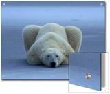 A portrait of a sleeping polar bear