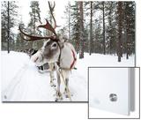 A Reindeer Sled Ride
