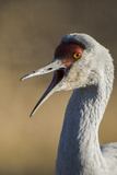 Close Up Portrait of a Sandhill Crane  Grus Canadensis