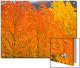 Quaking Aspens in Beautiful Bright Fall Colors