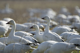 A Flock of Snow Geese  Chen Caerulescens  Feeding and Resting in a Farmer's Field