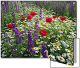 Meadow with Flowers Including Delphinium  Red Poppies and Daisies  Hungary