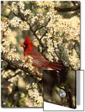 Northern Cardinal (CardinalisCardinalis) in Beach Plum (PrunusMaritima) Tree  Long Island  New York