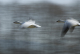 Two Snow Geese  Chen Caerulescens  in Flight