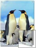 Emperor Penguin (Aptenodytes Forsteri) Parents with Chicks  Antarctica