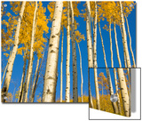Yellow Quaking Aspens Trees Seen from Below Against Blue Sky