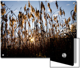 Sunset Through the Tall Grasses of Chesapeake Bay Wetlands