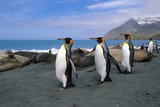 King Penguins Walk Among Elephant Seals Resting on Beach on Coastline of South Georgia Island