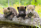 Portrait of Young Cute Wolf Pups on Log Minnesota Spring Captive