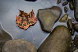 A Pink  Orange and Brown Maple Leaf Lays in a Still Pool of Water  Cheat River  West Virginia
