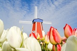 Windmill and Tulips at Wooden Shoe Tulip Farm; Woodburn  Oregon  USA
