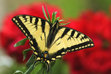 Close Up of a Canadian Tiger Swallowtail Butterfly with Red Geraniam Flowers in Background