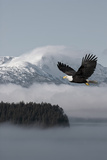 Bald Eagle in Flight over the Inside Passage with Tongass National Forest in the Background  Alaska
