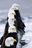 Six Bald Eagles Perched in a Row on Snow Covered Log Homer Spit Kachemak Bay Kenai Peninsula Alaska