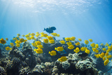 Hawaii  Lanai  School of Yellow Tangs (Zebrasoma Flavescens) in the Hulupoe Bay Marine Preserve