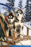 Two Siberian Husky Puppies Sitting in Dog Sled in Snow Alaska