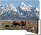 Buffalo or Bison Bulls  Bison Bison  in Front of the Teton Range