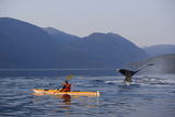 Man Sea Kayaking Near Swimming Pod of Humpback Whales Inside Passage Southeast Alaska Summer