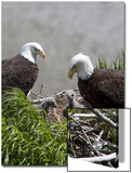 American Bald Eagles  Haliaeetus Leucocephalus  in Nest with Young