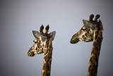 Two Giraffe Heads Side by Side; Kenya Africa