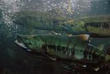 Closeup of Chum Salmon Underwater at Dipac Hatchery   Juneau Alaska