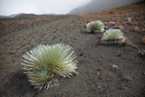 Hawaii  Maui  Haleakala  a Silversword Plant Growing Along the Trail of the Crater