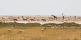Giraffes  Springbok  Oryx Among Others in Etosha National Park  Namibia  by a Watering Hole