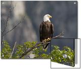 American Bald Eagle  Haliaeetus Leucocephalus  Perched on a Limb