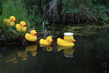 Rubber Ducks in a Row Pond Southcentral Alaska