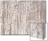 Glade of White Birch Trees in Daisetsuzan National Park