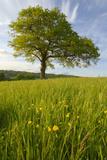 Solitary Oak Tree and Wildflowers in Field