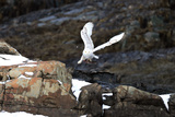 A Snowy Owl  Bubo Scandiacus  Flies over the Maine Coastline with a Meal in its Talons