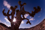 Fisheye Lens View of a Joshua Tree with the Sun Behind It