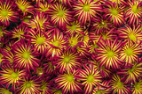 Vibrant Cultivated Chrysanthemums in a Florist's Display