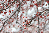 Red Berries Covered in Ice Brighten Up a December's Day