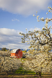 Apple Blossom Trees and a Red Barn