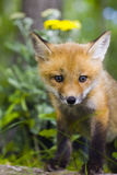 Red Fox Kit in Spring Wildflowers Minnesota Captive