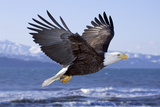 Bald Eagle in Mid-Air Flight over Homer Spit Kenai Peninsula Alaska Winter Kachemak Bay