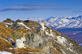 Two Dall Sheep Rams Resting on a Ridge with the Alaska Range in the Background
