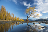 A Lone Cottonwood Tree on Stands on the Bank of Lake Wanaka