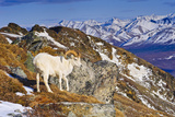 An Adult Dall Sheep Ram Standing on Mount Margrett with the Alaska Range in the Background